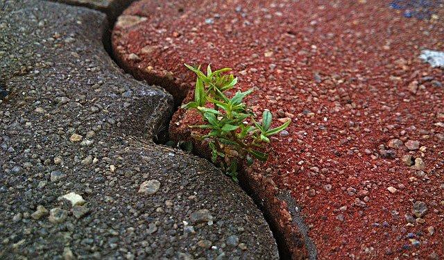 La perseveranza dello scrittore non è diversa dalla perseveranza di questa pianta nel fiorire tra i sassi.